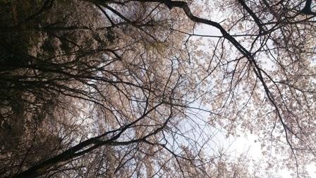 志和堀の桜