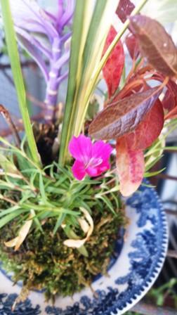 苔玉の春1