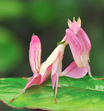 花カマキリ