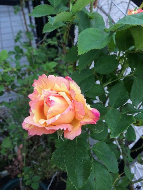 rose_peche01.jpg