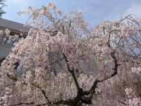 BL140411桜の通り抜け3P1100475