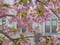 BL140411桜の通り抜け4P1100474