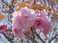 BL140411桜の通り抜け6P1100437