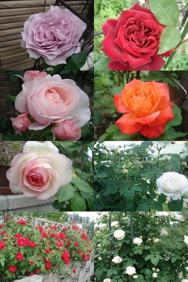 6月の薔薇たち