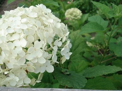 初めて咲いたアナベル