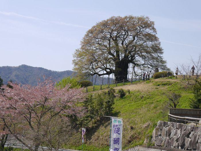 がいせん桜 (12)