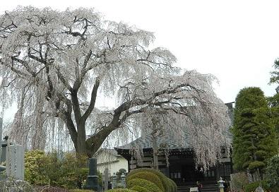 20130330 光明寺さくら-1