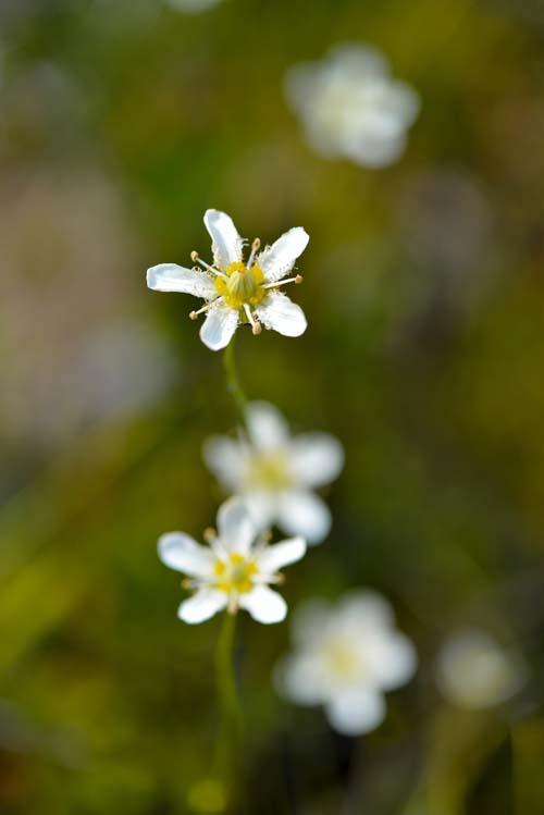 エメラルド湖の湖畔に咲く花