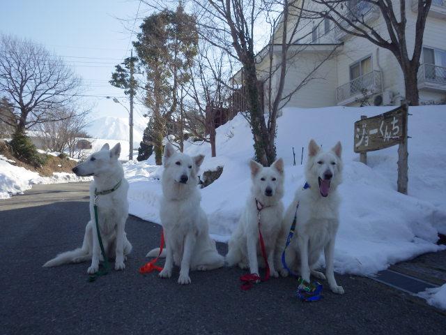 ホワイトスイスシェパード4匹ジョーくんちの前で