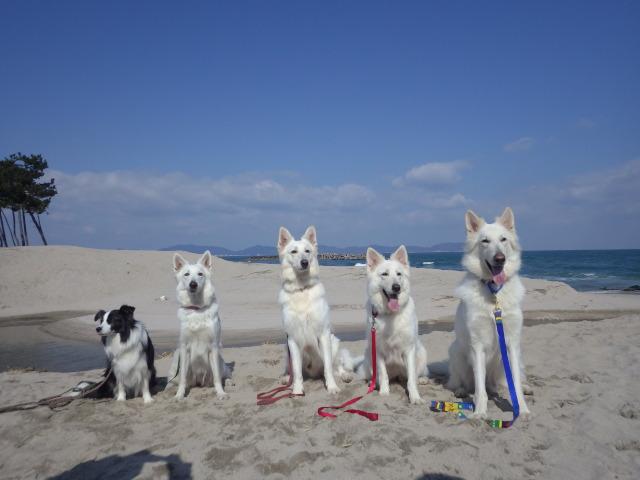 ホワイトスイスシェパード日本海で集合