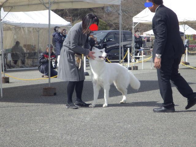 ホワイトスイスシェパード★タキオン★触診前