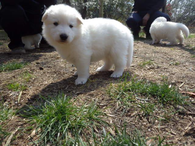 ホワイトスイスシェパード仔犬生後1か月