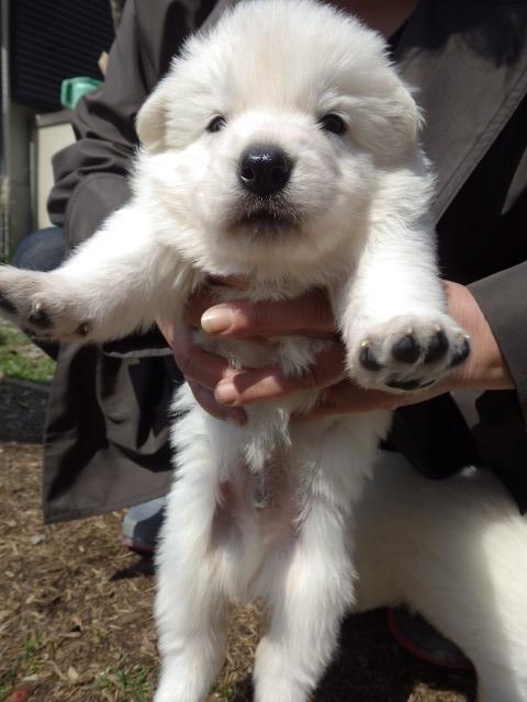 ホワイトスイスシェパード★仔犬★