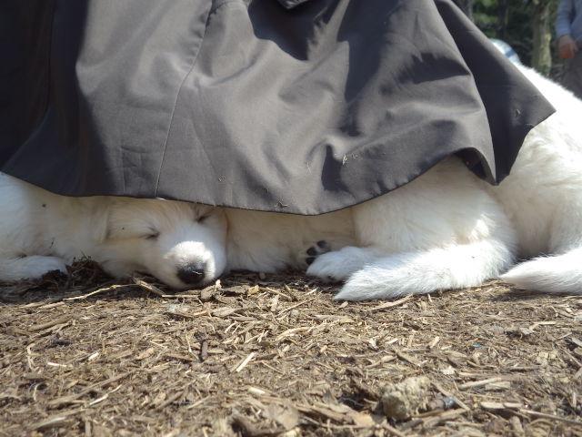 疲れて休憩中のホワイトスイスシェパード仔犬達
