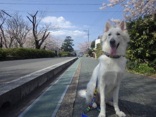 ホワイトスイスシェパード★エース★名和公園から日本海に続く道