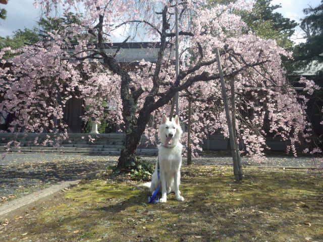 ホワイトスイスシェパード★エース★桜大好き
