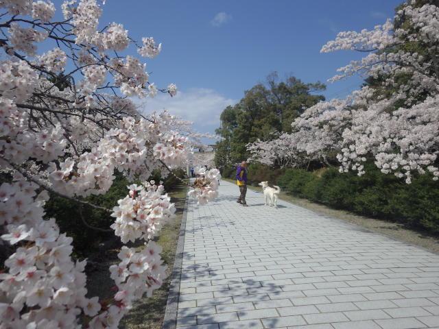 ホワイトスイスシェパード★エース★桜とルンルン