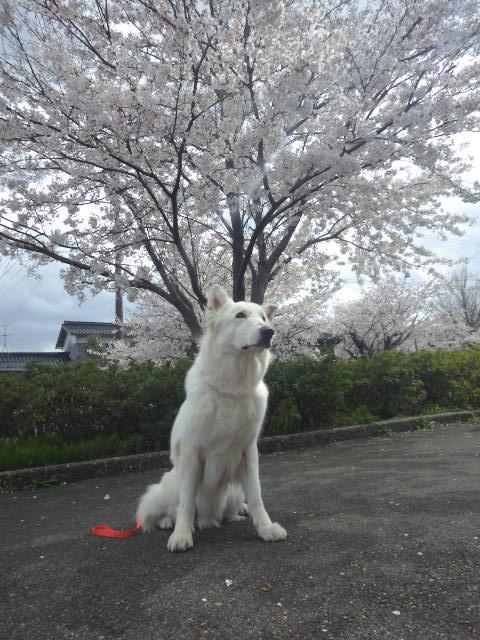 ホワイトスイスシェパード★アブー★11歳桜が似合う