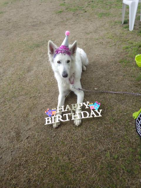 ホワイトスイスシェパード★ビオラ★3歳誕生日