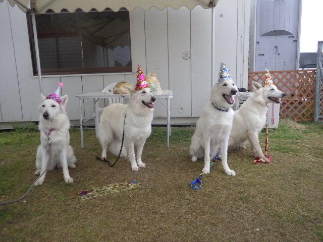ホワイトスイスシェパード3歳の誕生日会