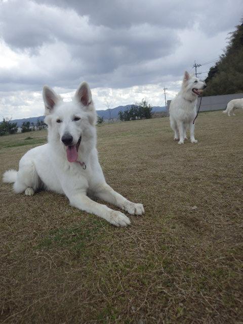 ホワイトスイスシェパード★タキオン★3歳誕生日