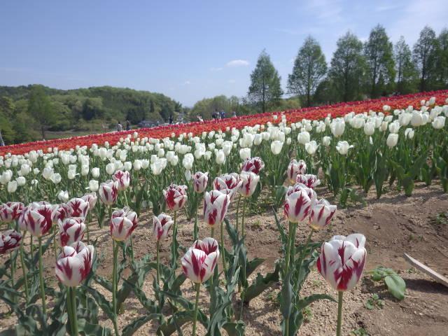 世羅高原農場のチューリップ!すごくきれい