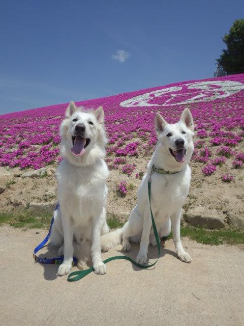 ホワイトスイスシェパード★エース★&★レオン★芝桜と