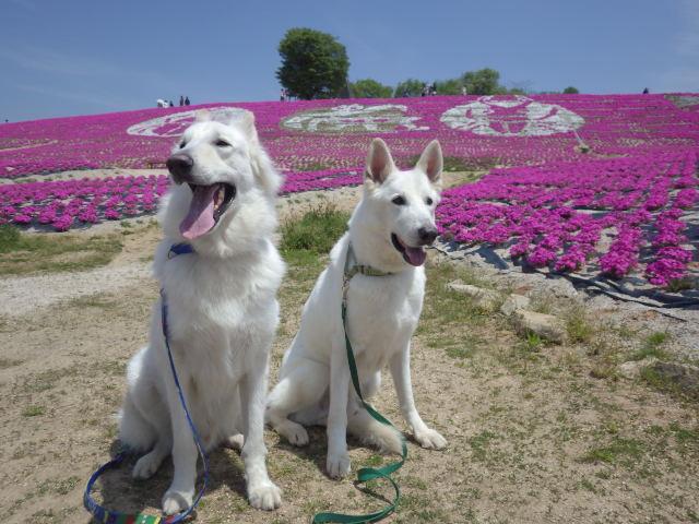 ホワイトスイスシェパード★エース★&★レオン★綺麗な芝桜に囲まれて