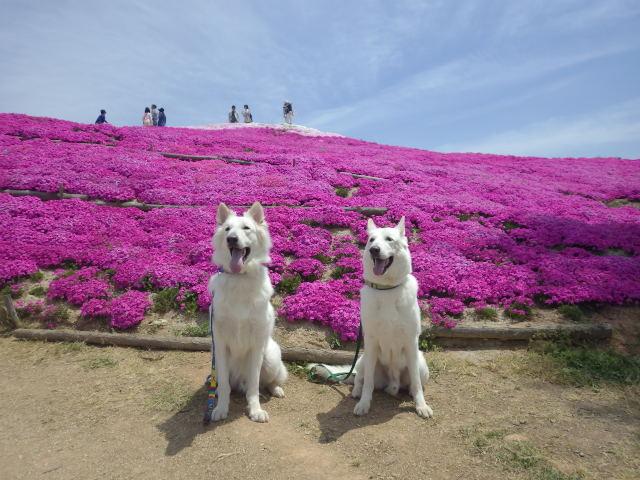 ホワイトスイスシェパード★エース★&★レオン★と芝桜