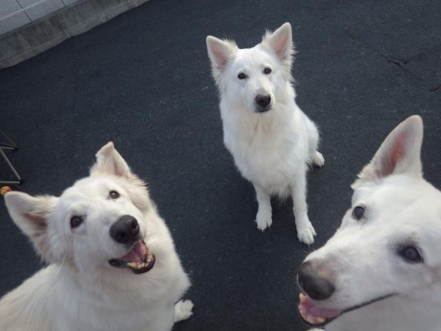ホワイトスイスシェパード★アブー★のうきうき顔(写真 左)