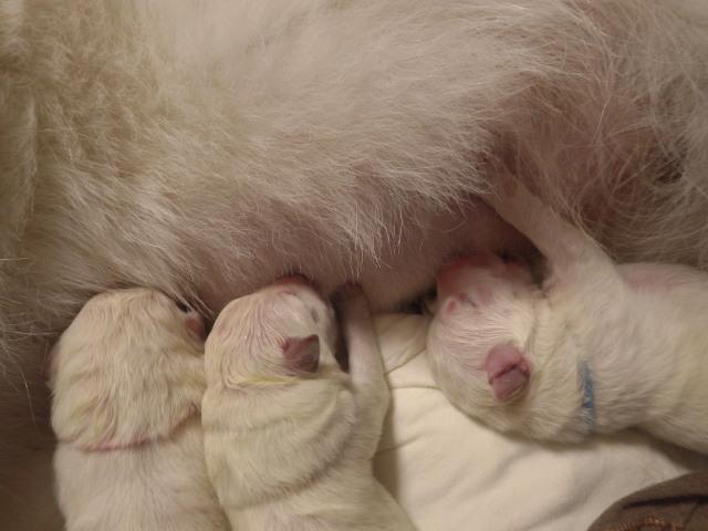 さっそくグイグイと乳を吸う仔犬たち