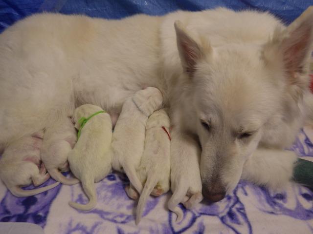 ホワイトスイスシェパード★リサ★出産 6月2日生まれ6匹