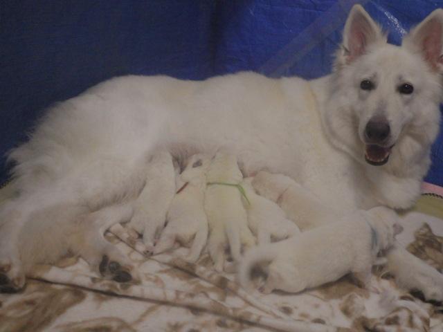 ホワイトスイスシェパード★リサ★と6匹の仔犬たち