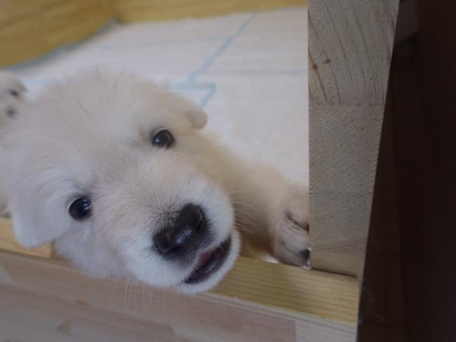 ホワイトスイスシェパード仔犬★ぴんく姫★離乳食も順調
