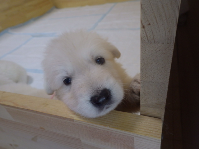 ホワイトスイスシェパード仔犬★ぴんく姫★