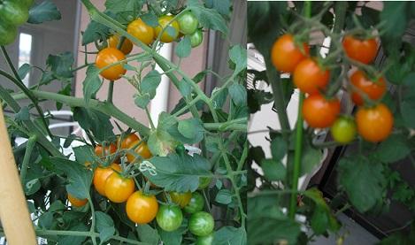 4 ベランダのトマト