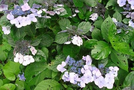 7 紫陽花