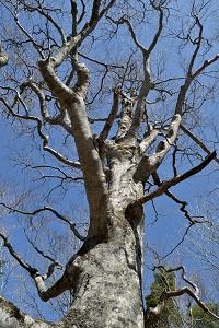 大樹を見上げる