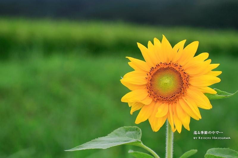 向日葵 ひまわり