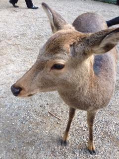 春日大社鹿
