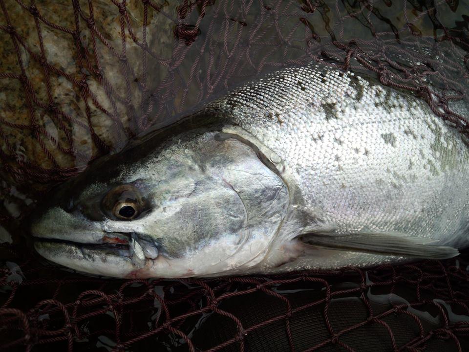 2014荒川サクラマス釣り いそべの若大将 村上市