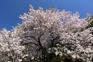 迫力のある八重桜