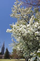 良い桜日和でした