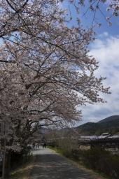 待ってました桜