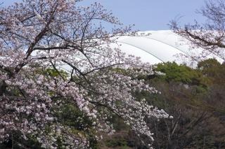 ソメイヨシノも開花