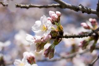 あっという間に桜は駆け抜けます