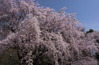 桜には青空が合う