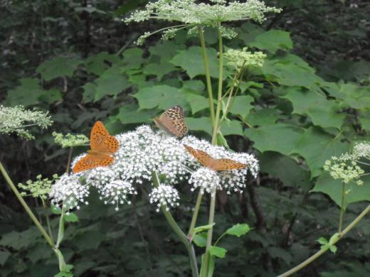 せり科に群がる蝶々