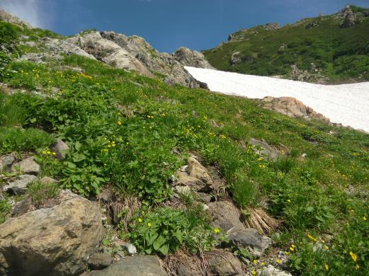 キンポウゲ、キンバイ花盛り