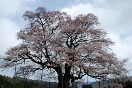 8137醍醐桜